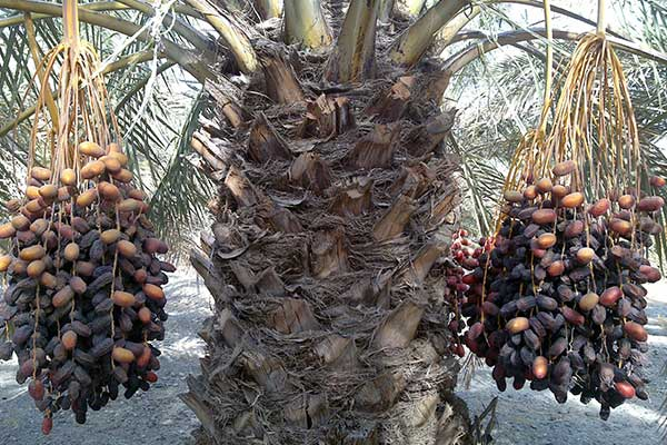 iranian dates fruits palm tree