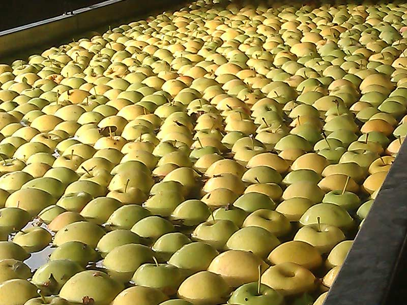 apple fruit sorting and washing line agro
